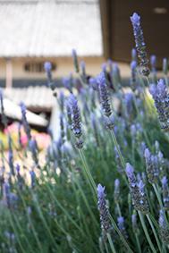 150502_lavender.jpg