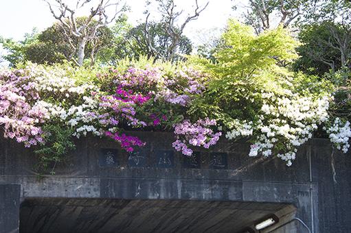 150505_doujiyama2_tutuji.jpg