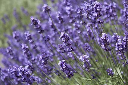 150604_02_lavender.jpg