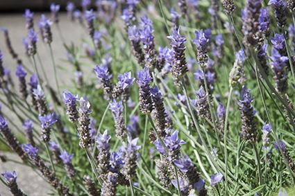 150604_03_lavender.jpg