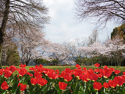 Dojiyama_sakura02.jpg